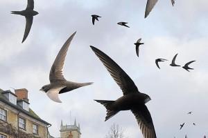 dlhé hrubé vtáky francúzsky tajomník fajčenie